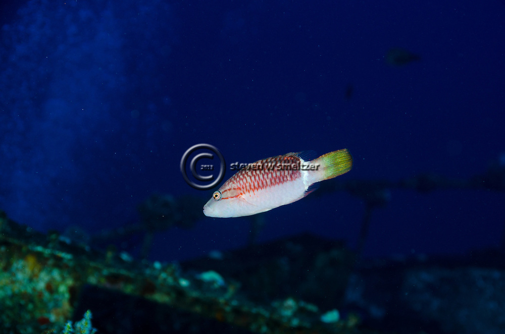 Ringtail Wrasse, Oxychellinus unifasciatus, (Streets, 1877), Molokini Crater, Hawaii
