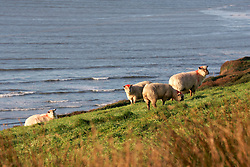 IRELAND KERRY INCH 4NOV05 - Sheep graze near Inch Strand on the Dingle Peninsula, Irelands most westerly county...jre/Photo by Jiri Rezac..© Jiri Rezac 2005..Contact: +44 (0) 7050 110 417.Mobile: +44 (0) 7801 337 683.Office: +44 (0) 20 8968 9635..Email: jiri@jirirezac.com.Web: www.jirirezac.com..© All images Jiri Rezac 2005 - All rights reserved.