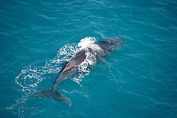 A Humpback whale swims off Broome's Cable Beach.