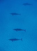Four spinner dolphins swim along neat the bottom of the sea floor in Hawaii.