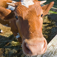 Cow in a farm, Broward County, Florida, USA