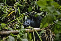 In the Gorillas Mountains, near Ruhengeri - Rwanda.<br /> In this area, Dian Fossey undertook an extensive study of gorilla groups. She studied them daily in the mountain forests of Rwanda  over a period of 18 years, then she was murdered.