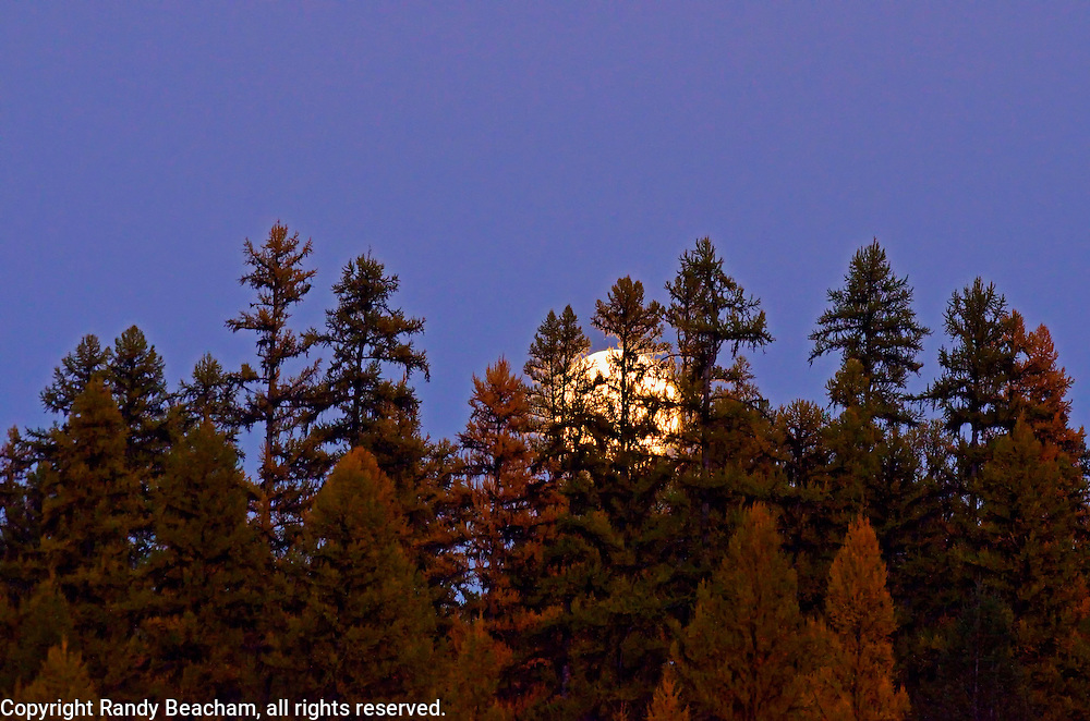 Western larch and full moon rising in fall. Yaak Valley Montana