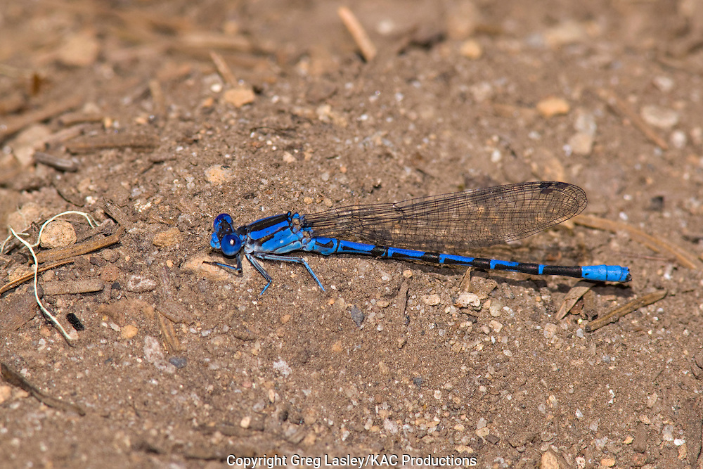 Vivid Dancer.Argia vivida.male.Gold Lake Campground,.Willamette National Forest,.Lane Co., Oregon.3 August 2008 Damselfly