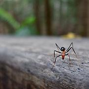 Frazer Island, on the east coast of Australia, is a sand island. giant ant on Fraser Island.