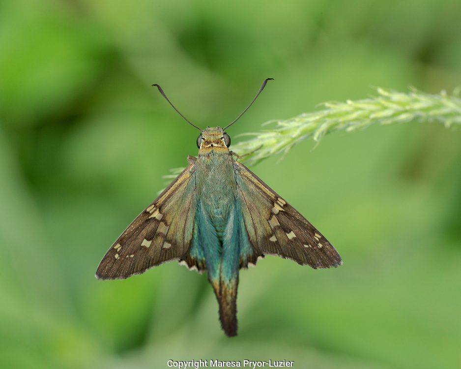 Long-tailed Skipper, Urbanus proteus, Florida backyard, wild