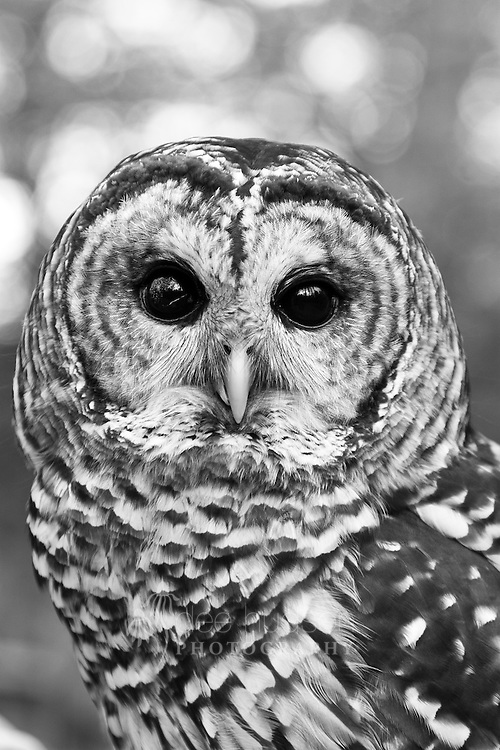 This female Barred Owl was probably hit by a car. She was brought to the wildlife rehabilitation center in 2004 with a beak fracture, a misaligned jaw, a fractured toe and a vision impairment in her right eye. Due to the extent of her injuries, this owl cannot be released back into nature and remains a permanent resident at the center.