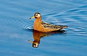 Male of Grey Phalarope (Phalaropes fulicarius), Spitsbergen, Svalbard.