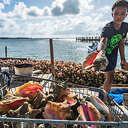A young man, under direction from his father, in Nassau, Bahamas tosses conch into an old shopping cart. The animal will be removed from his or her shell to be made into conch salad or other food for human consumption. The shell will either be discarded or sold as an ornament. Conch is the national food of The Bahamas and is important economically, ecologically and culturally. Scientists warn conch populations are declining and a collapse is imminent.