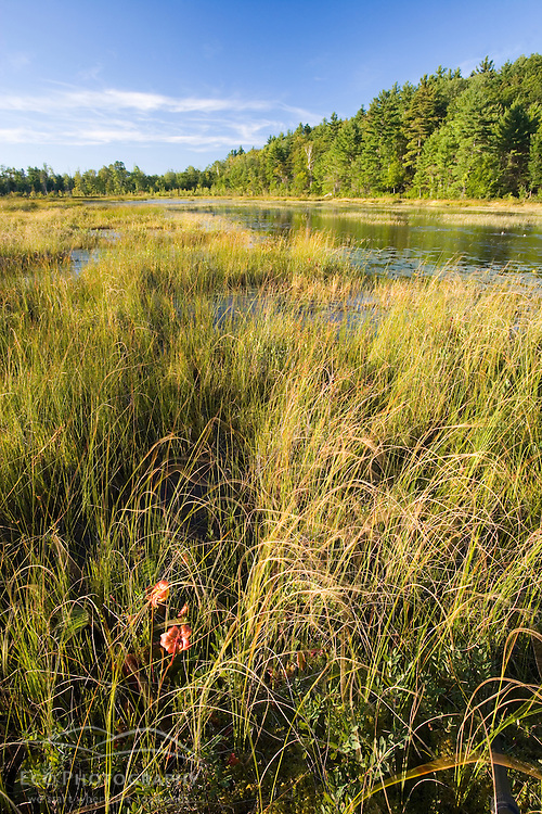 Pitcher plants in Rye Pond in Stoddard New Hampshire USA