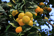 Close up of fruit and leaves of orange tree, Spain