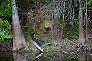 Alligator by Turner River, Everglades, Florida, United States of America