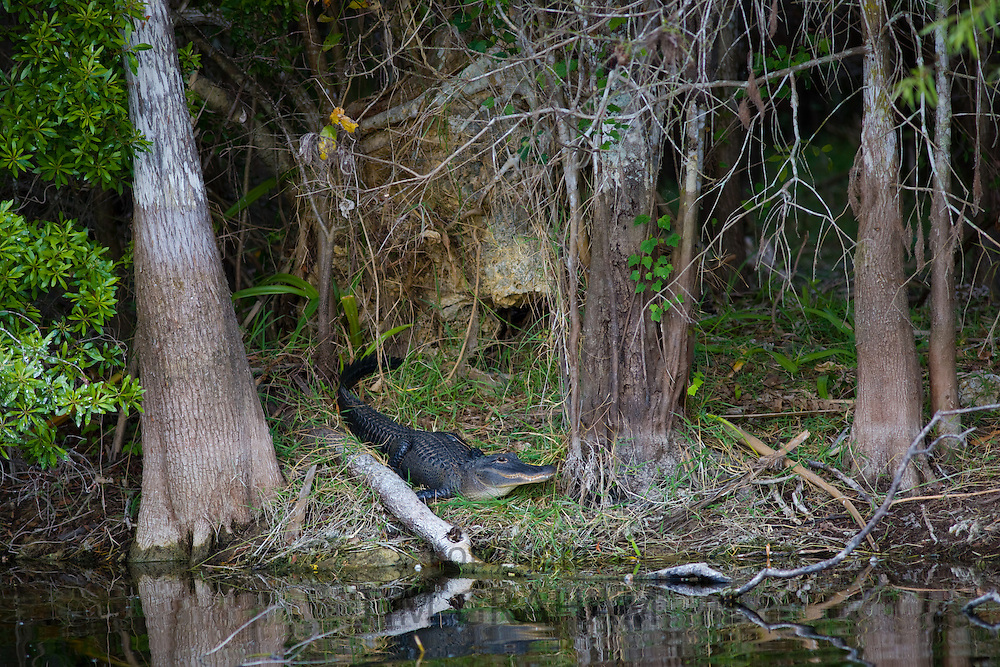 Alligator by Turner River, Everglades, Florida, United States of America