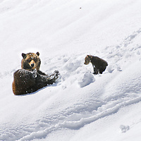 grizzly sow and new born cub in snow bank