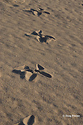 tracks of Asian Black-necked Stork or Jabiru, Ephippiorhynchus asiaticus,  a predator of sea turtle hatchlings, on turtle nesting beach, Crab Island, off Cape York Peninsula, Torres Straits, Queensland, Australia