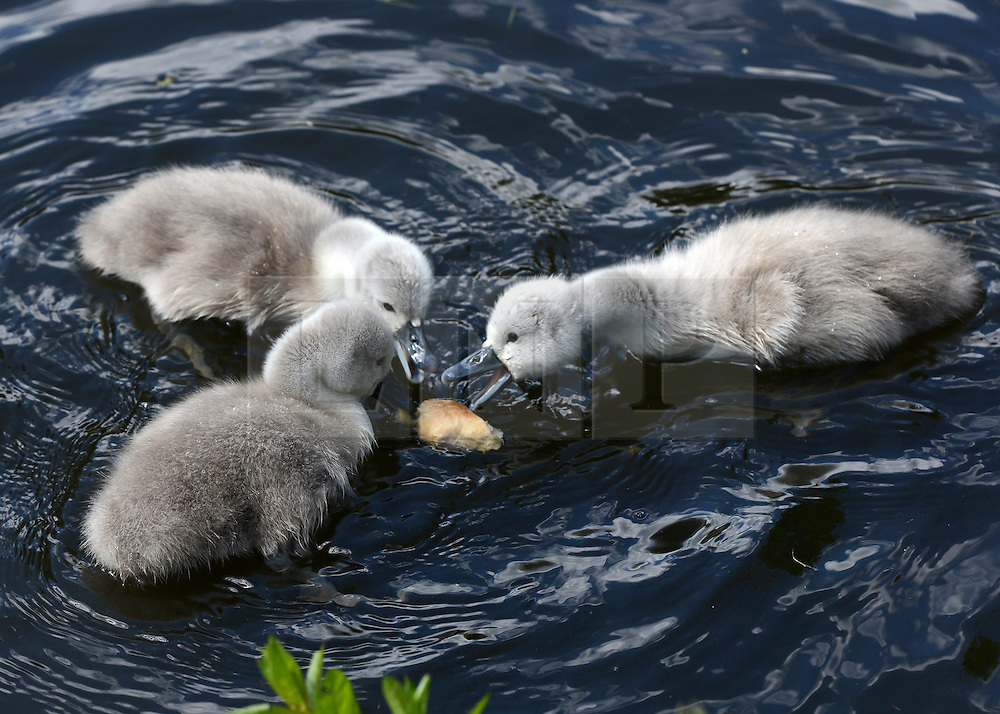 © Licensed to London News Pictures. 16/05/2012. Chiswick, UK Three of the cygnets eat a piece of bread. A family of Mute swans and their brood of 7 Cygnets explore a lake in Chiswick this morning. The birth of cygnets traditionally heralds the start of summer in the UK. Photo credit : Stephen Simpson/LNP