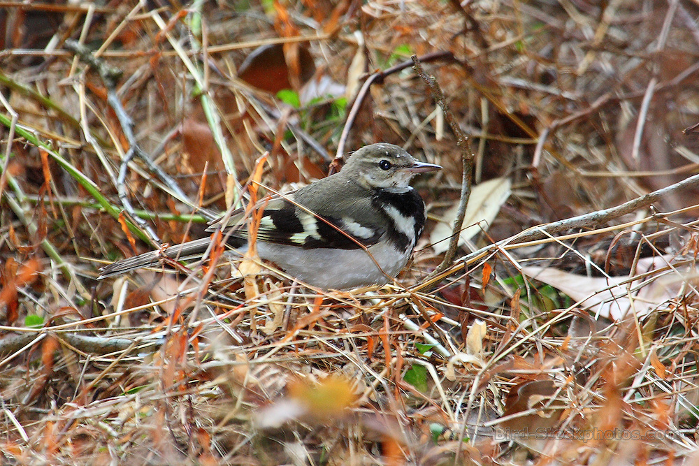 Forest Wagtail, Dendronanthus indicus, Japan, by Glen Valentine