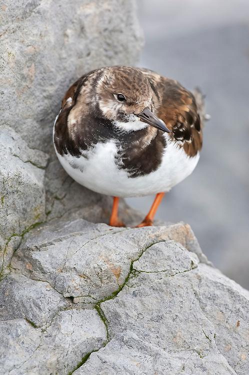 Ruddy Turnstone, Arenaria interpres, nonbreeding plumage, Barnegat Light, New Jersey