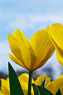 Yellow Tulip with Blue Sky