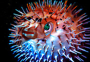 UNDERWATER MARINE LIFE CARIBBEAN, generic FISH; Porcupine Fish, inflated Diodon hystrix
