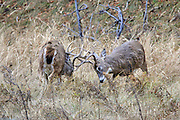 Whitetail bucks fighting in fall habitat