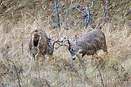 Whitetail bucks fighting in fall habitat