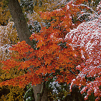 """October Snow""<br /> October snow at Walden Pond coats colorful leaves.  Fall views at Walden Pond."