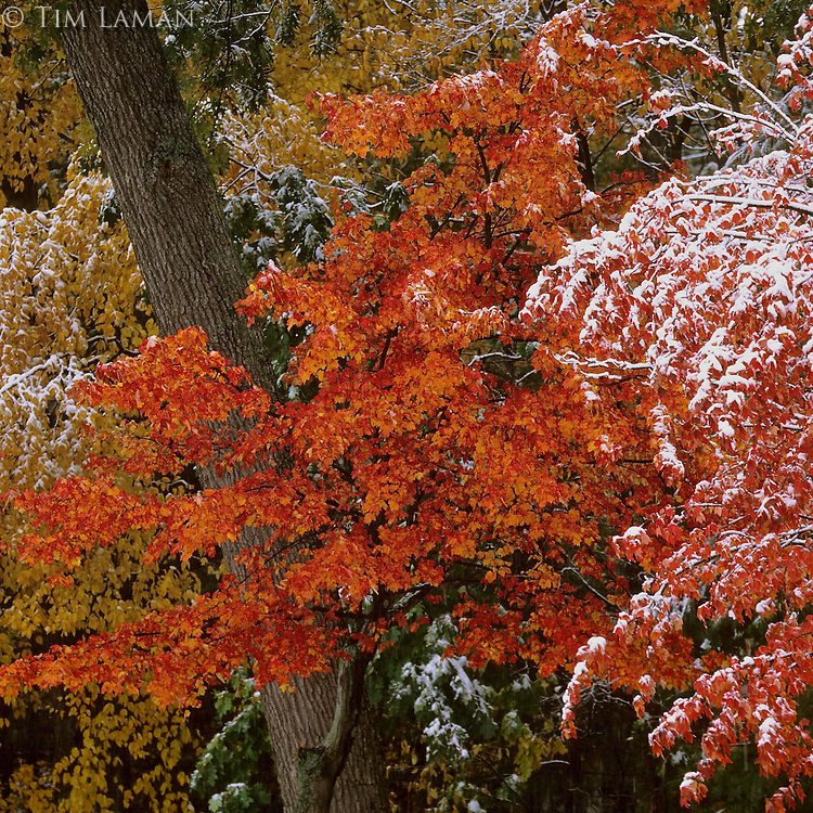 """""""October Snow""""<br /> October snow at Walden Pond coats colorful leaves.  Fall views at Walden Pond."""