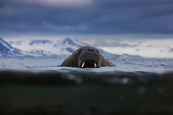 Walrus (Odobenus rosmarus) in Spitsbergen, Svlabard