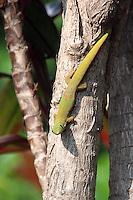 Gold dust day gecko, Phelsuma laticauda laticauda, firfirsle, gekko