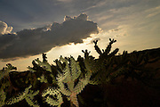 Cholla cactus at sunset in the foothills of the Santa Catalina Mountains in the Sonoran Desert, Catalina, Arizona, USA.