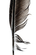 close up of a black bird feather