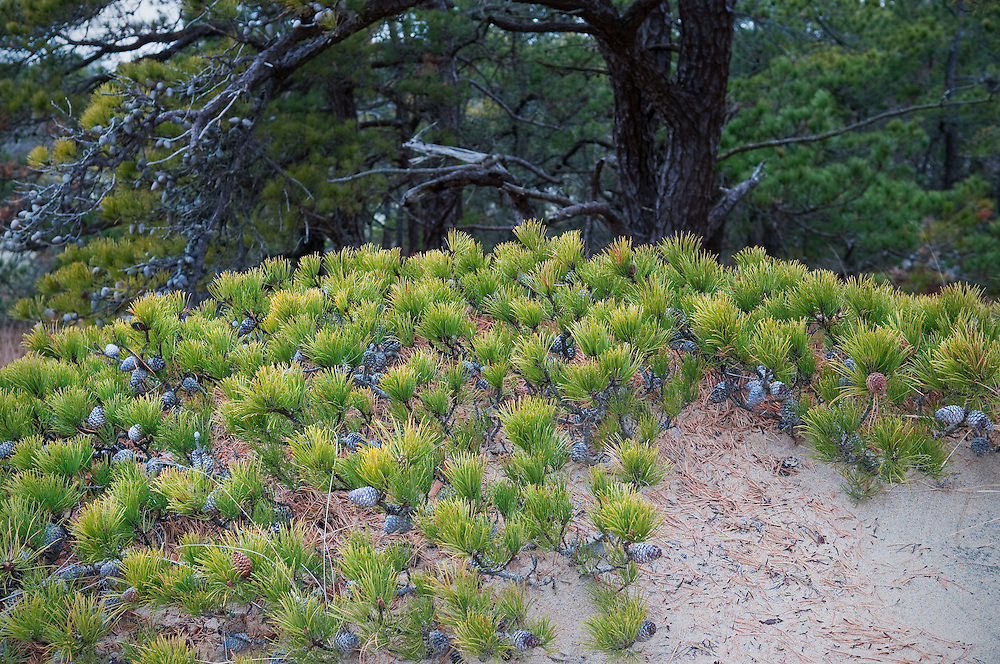 Pitch Pine forest in the Provincelands dune system near Provincetown, Massachusetts.