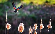 Red Wing Black Bird In Flight Over Marsh