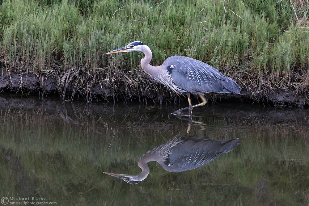 A wading Great Blue Heron (Ardea herodias) stalks small fish and invertebrates along the shoreline.  Photographed at Blackie Spit in Surrey, British Columbia, Canada.
