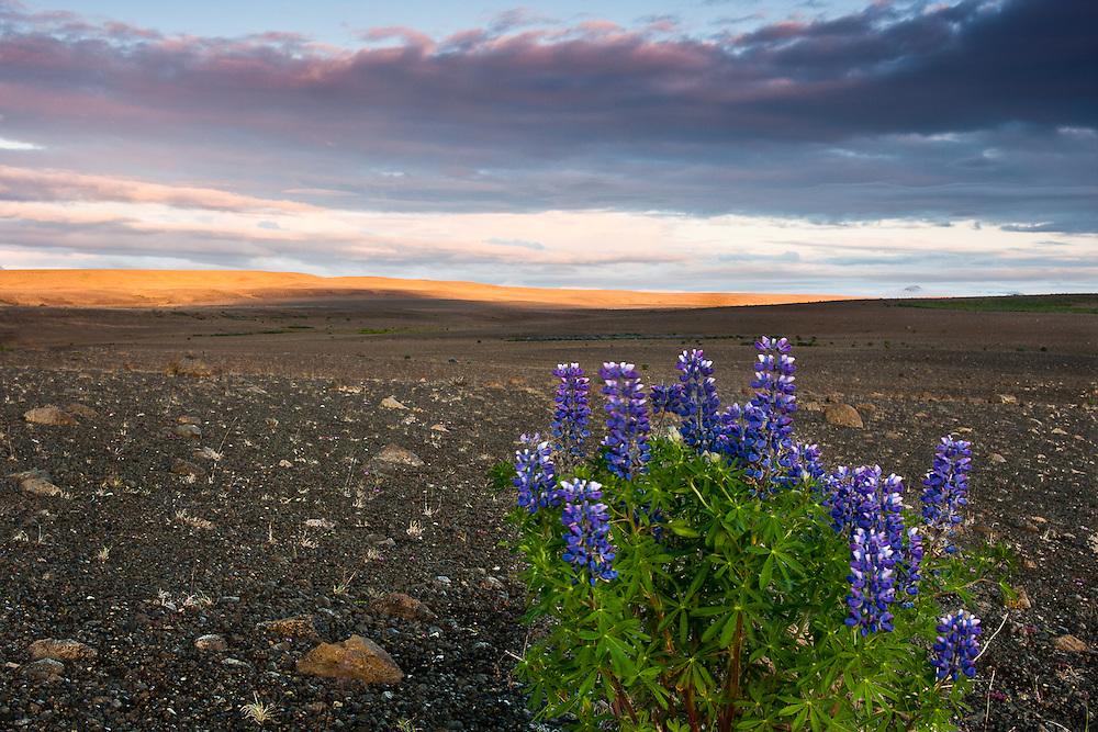 A lonely patch of lupine stands in an arid plain.