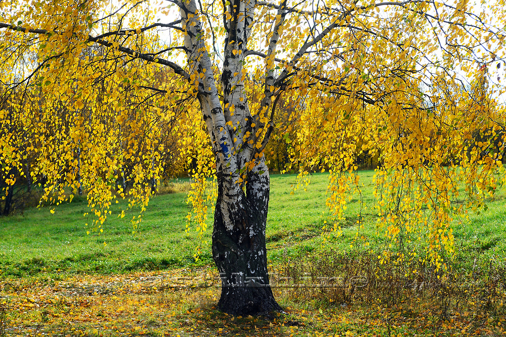 Image of birch with lots of yellow leaves against sky.