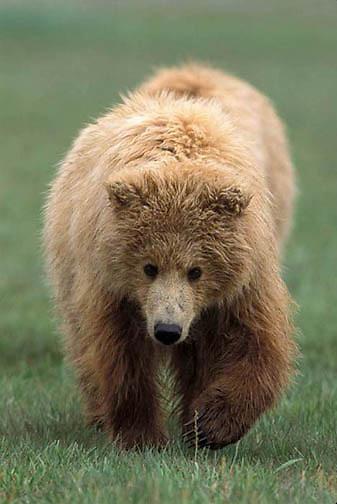 Alaskan Brown Bear, (Ursus middendorffi)  Portrait of cub. Katmai National Park. Alaska.