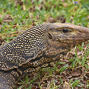 Clouded Monitor - Varanus nebulosus. Its colouration comprises yellow spots on a brown-grey base. This mainly terrestrial species can be found in habitats as diverse as scrubland and rainforest, but is generally encountered as it digs amongst leaf litter searching for beetles and other insects.