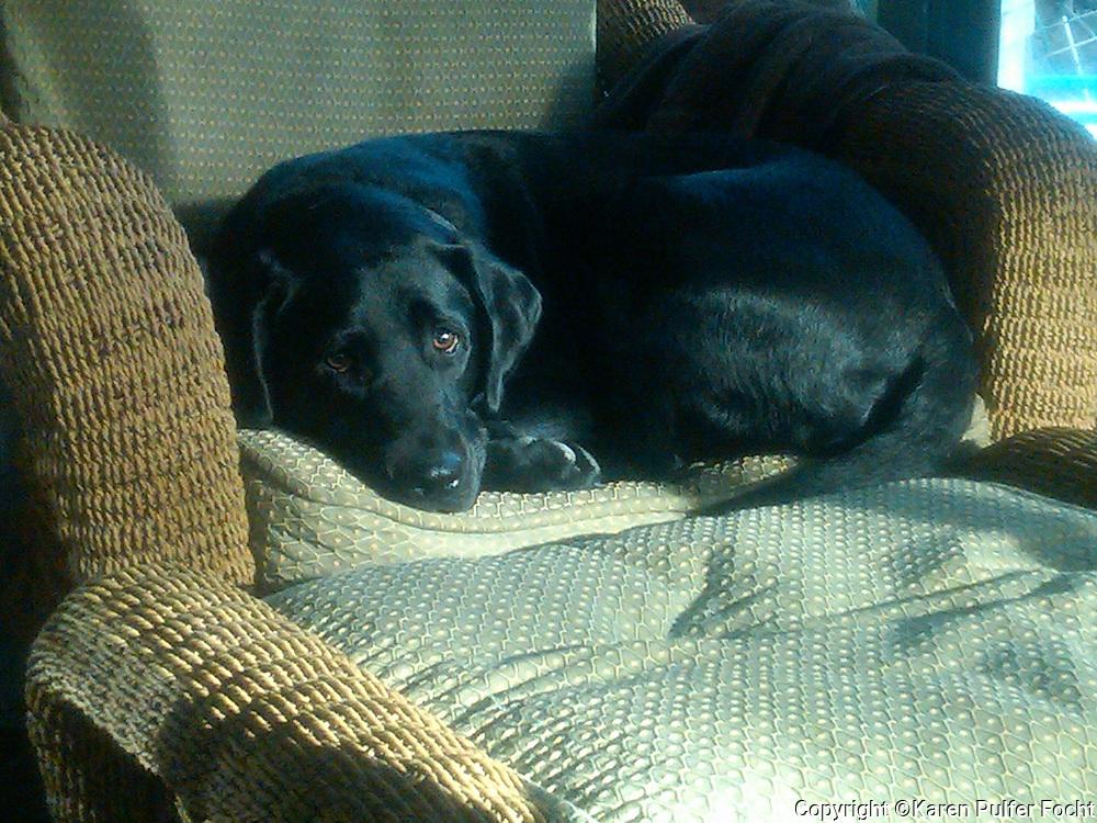 Bella, a labrador retriever.