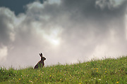 European Hare (Lepus europaeus) sunning itself on bank of land in Nithsdale. Thornhill, Scotland May 2009
