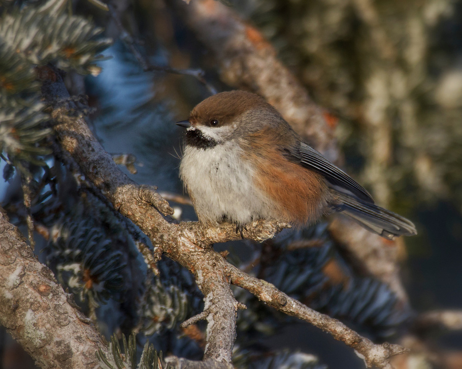 Boreal Chickadee (Poecile hudsonicus, formerly Parus hudsonicus) is a small passerine bird in the tit family Paridae.