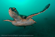 A Green Sea Turtle, Chelonia mydas, swims in the chilly waters of the Galapagos Islands, Ecuador.