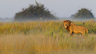 Male African lion standing in the late afternoon sun, Duba Plains, Botswana