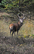 Red deer, young male