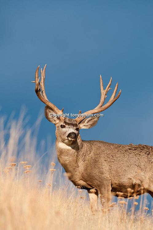 trophy mule deer buck blue open sky open country