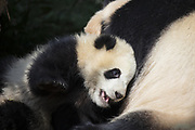 Giant Panda<br /> Ailuropoda melanoleuca<br /> 6-8 month-old cub with mother<br /> Chengdu Research Base of Giant Panda Breeding, Chengdu, China<br /> *captive