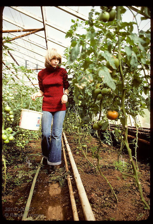 Girl harvests tomatoes in commercial, geothermal greenhouse, the main industry of Hveragerdi. Iceland