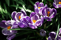 Varigated Spring Crocus.