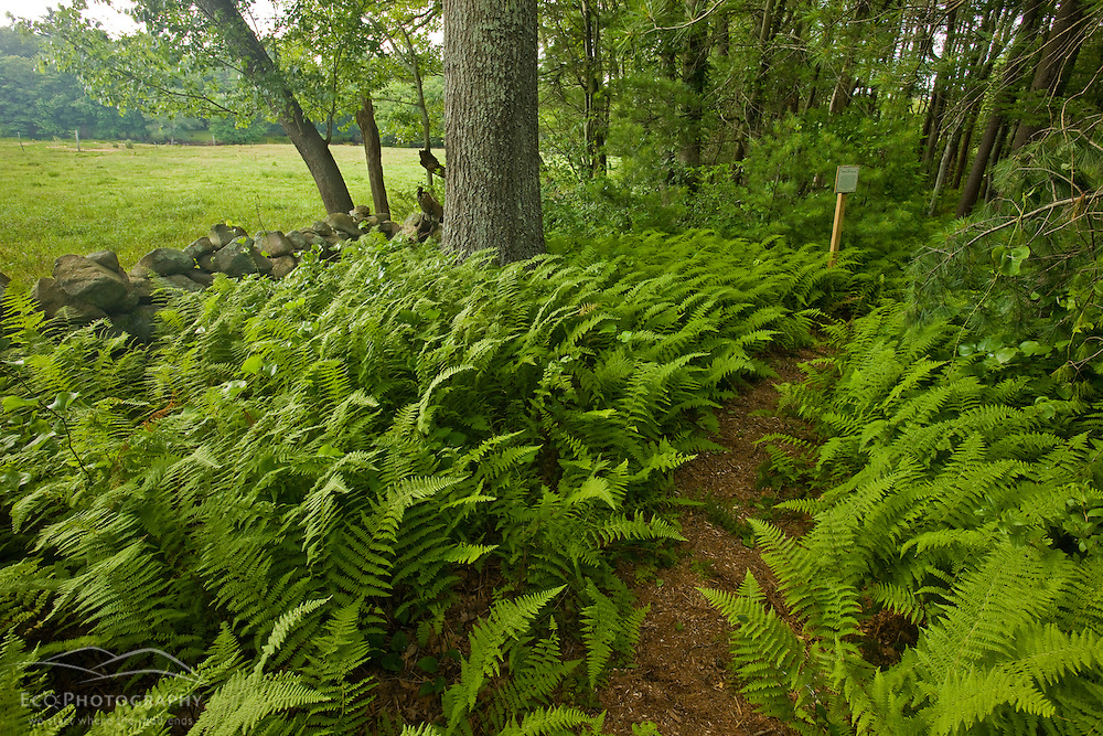 Ferns and a stone wall at the O'Neil Farm in Duxbury, Massachusetts.